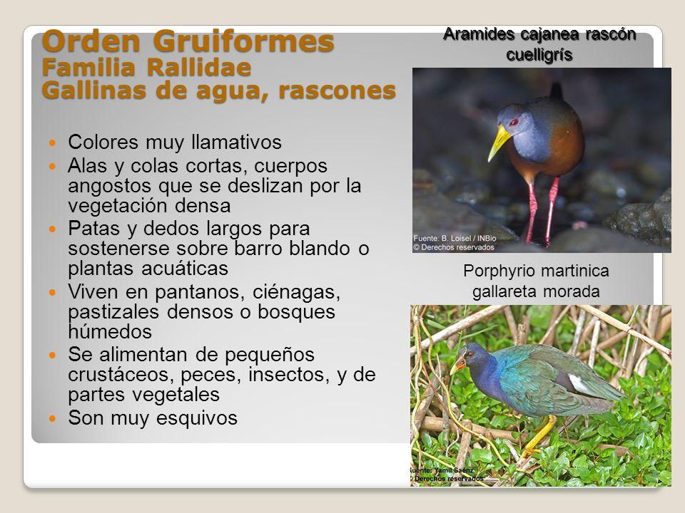 Orden Gruiformes Familia Rallidae Gallinas de agua, rascones Colores muy llamativos Alas y colas cortas, cuerpos angostos que se deslizan por la veget