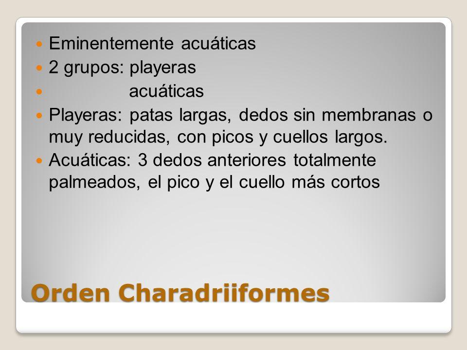 Orden Charadriiformes Eminentemente acuáticas 2 grupos: playeras acuáticas Playeras: patas largas, dedos sin membranas o muy reducidas, con picos y cu