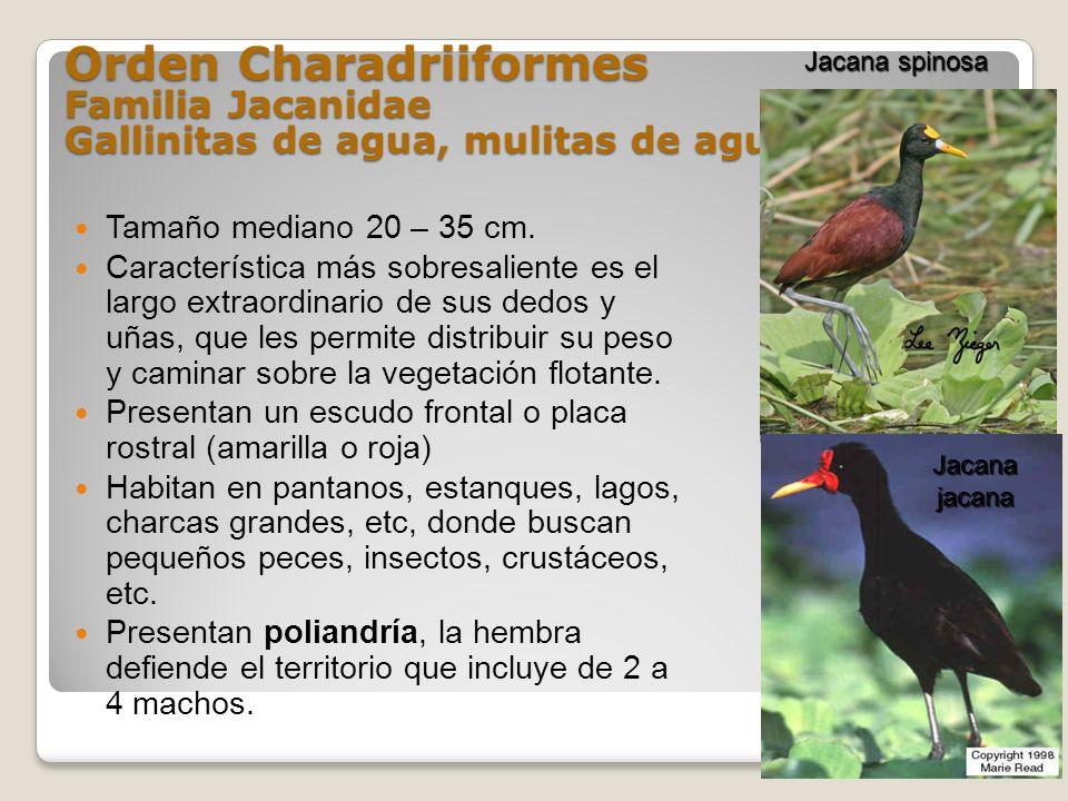 Orden Charadriiformes Familia Jacanidae Gallinitas de agua, mulitas de agua Tamaño mediano 20 – 35 cm. Característica más sobresaliente es el largo ex