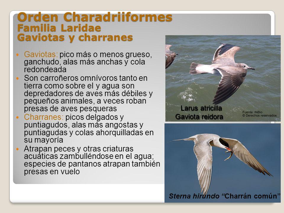 Orden Charadriiformes Familia Laridae Gaviotas y charranes Gaviotas: pico más o menos grueso, ganchudo, alas más anchas y cola redondeada Son carroñer