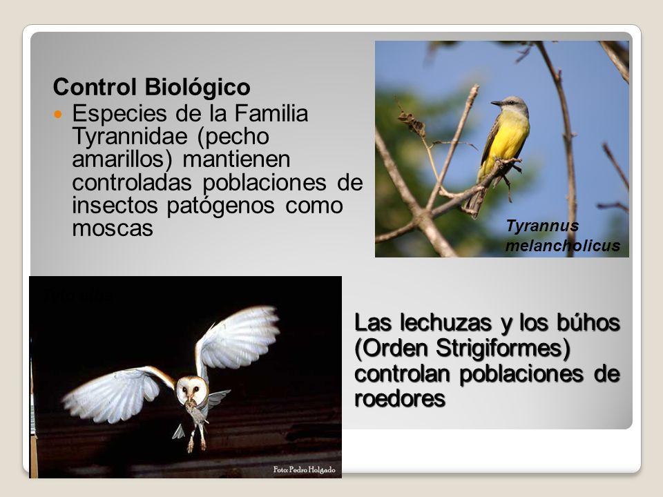 Control Biológico Especies de la Familia Tyrannidae (pecho amarillos) mantienen controladas poblaciones de insectos patógenos como moscas Las lechuzas