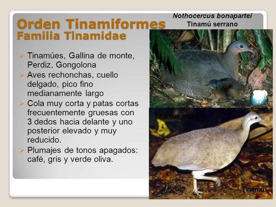 Orden Tinamiformes Familia Tinamidae Tinamúes, Gallina de monte, Perdiz, Gongolona Aves rechonchas, cuello delgado, pico fino medianamente largo Cola