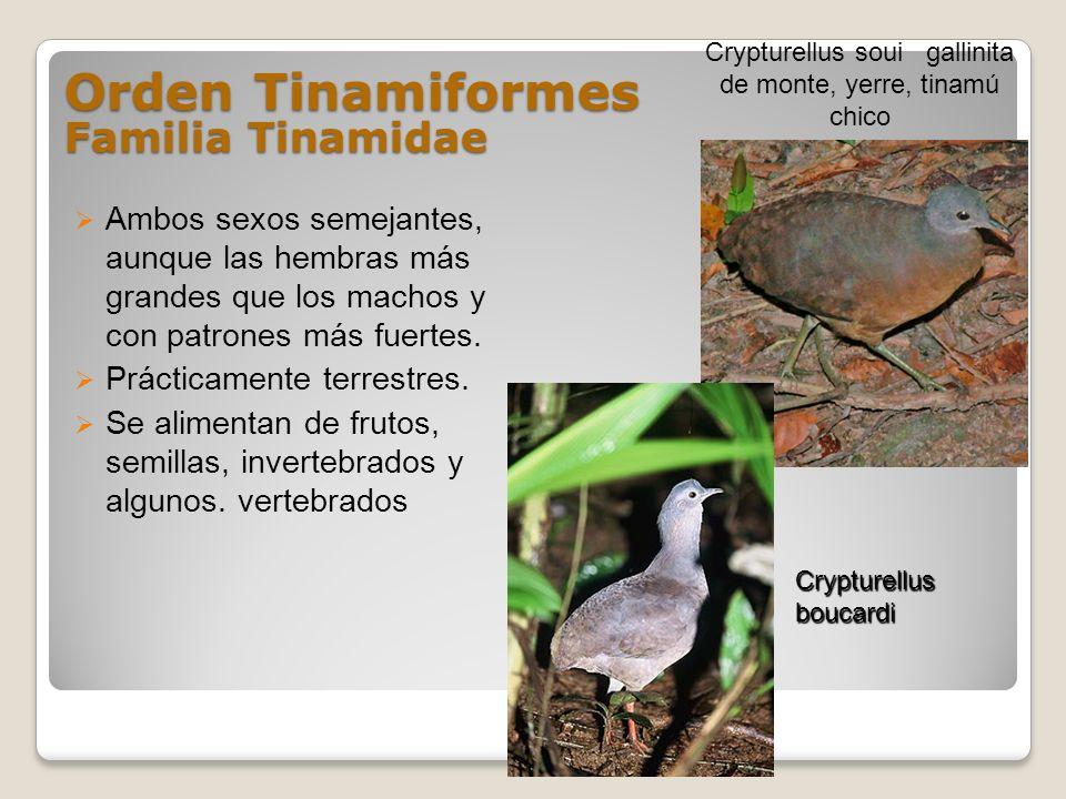 Orden Tinamiformes Familia Tinamidae Ambos sexos semejantes, aunque las hembras más grandes que los machos y con patrones más fuertes. Prácticamente t