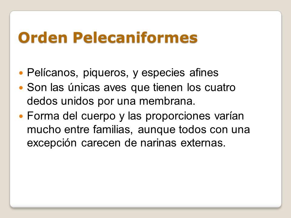 Orden Pelecaniformes Pelícanos, piqueros, y especies afines Son las únicas aves que tienen los cuatro dedos unidos por una membrana. Forma del cuerpo