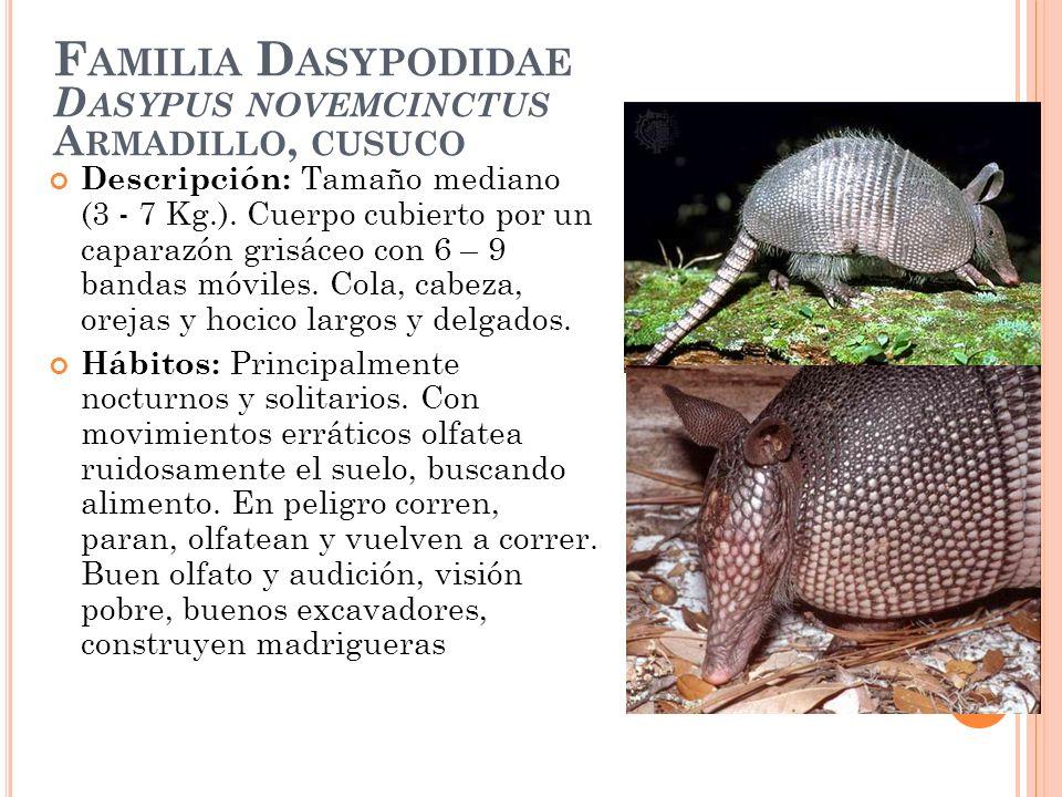 F AMILIA D ASYPODIDAE D ASYPUS NOVEMCINCTUS A RMADILLO, CUSUCO Descripción: Tamaño mediano (3 - 7 Kg.). Cuerpo cubierto por un caparazón grisáceo con