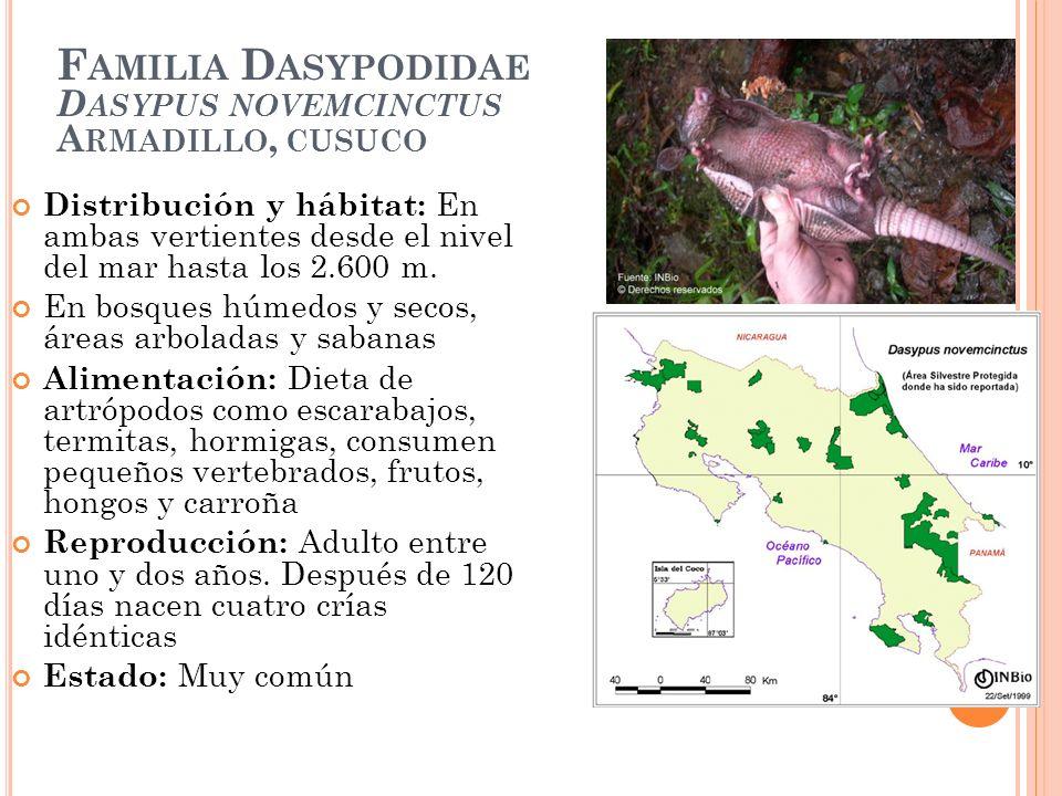 F AMILIA D ASYPODIDAE D ASYPUS NOVEMCINCTUS A RMADILLO, CUSUCO Distribución y hábitat: En ambas vertientes desde el nivel del mar hasta los 2.600 m. E