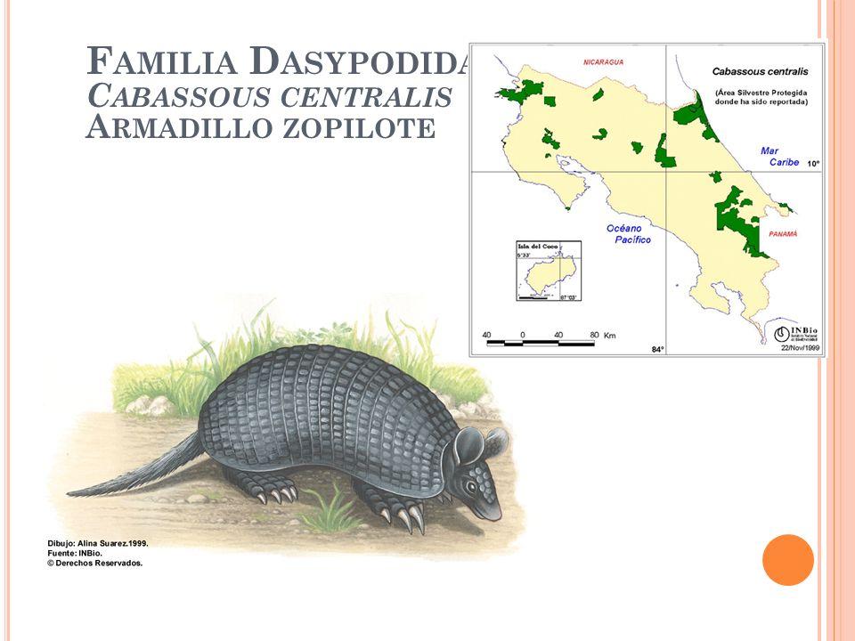 F AMILIA D ASYPODIDAE C ABASSOUS CENTRALIS A RMADILLO ZOPILOTE