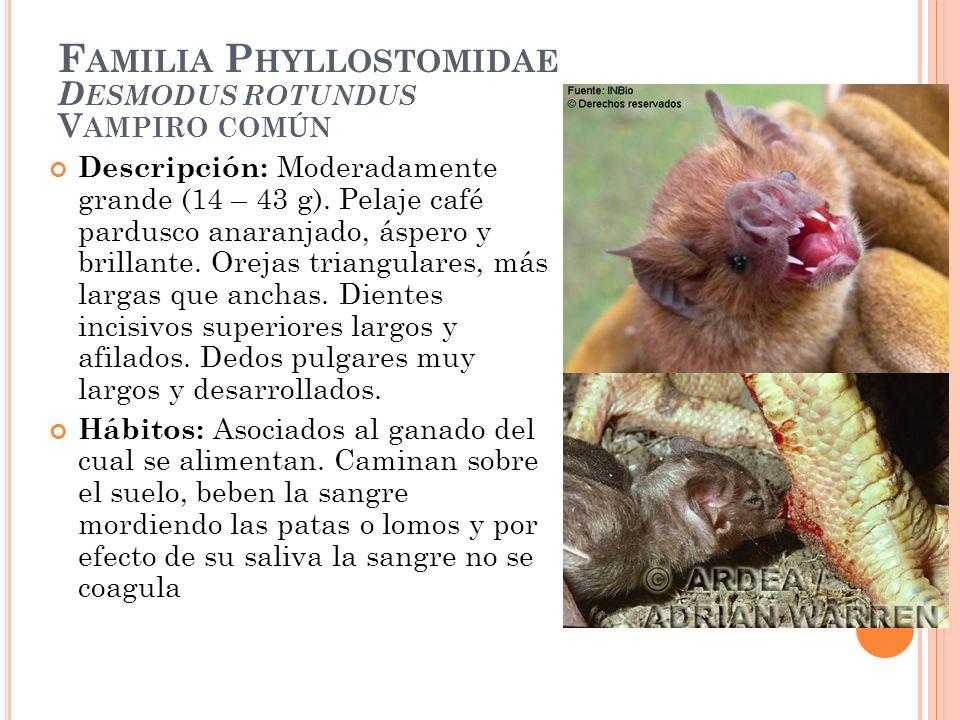 F AMILIA P HYLLOSTOMIDAE D ESMODUS ROTUNDUS V AMPIRO COMÚN Descripción: Moderadamente grande (14 – 43 g). Pelaje café pardusco anaranjado, áspero y br
