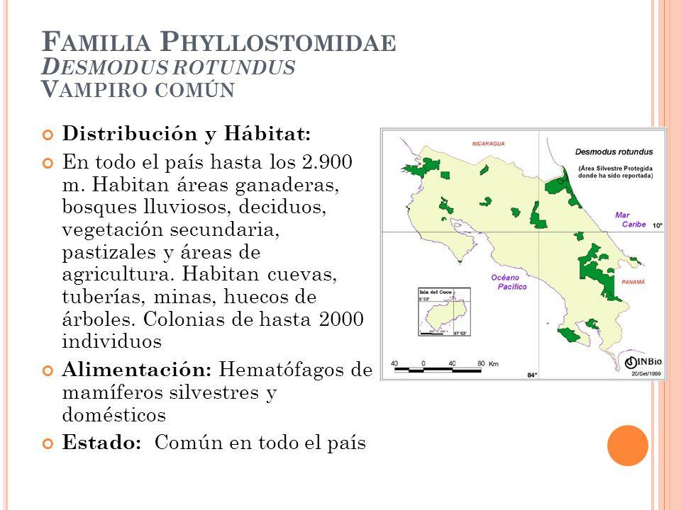 F AMILIA P HYLLOSTOMIDAE D ESMODUS ROTUNDUS V AMPIRO COMÚN Distribución y Hábitat: En todo el país hasta los 2.900 m. Habitan áreas ganaderas, bosques