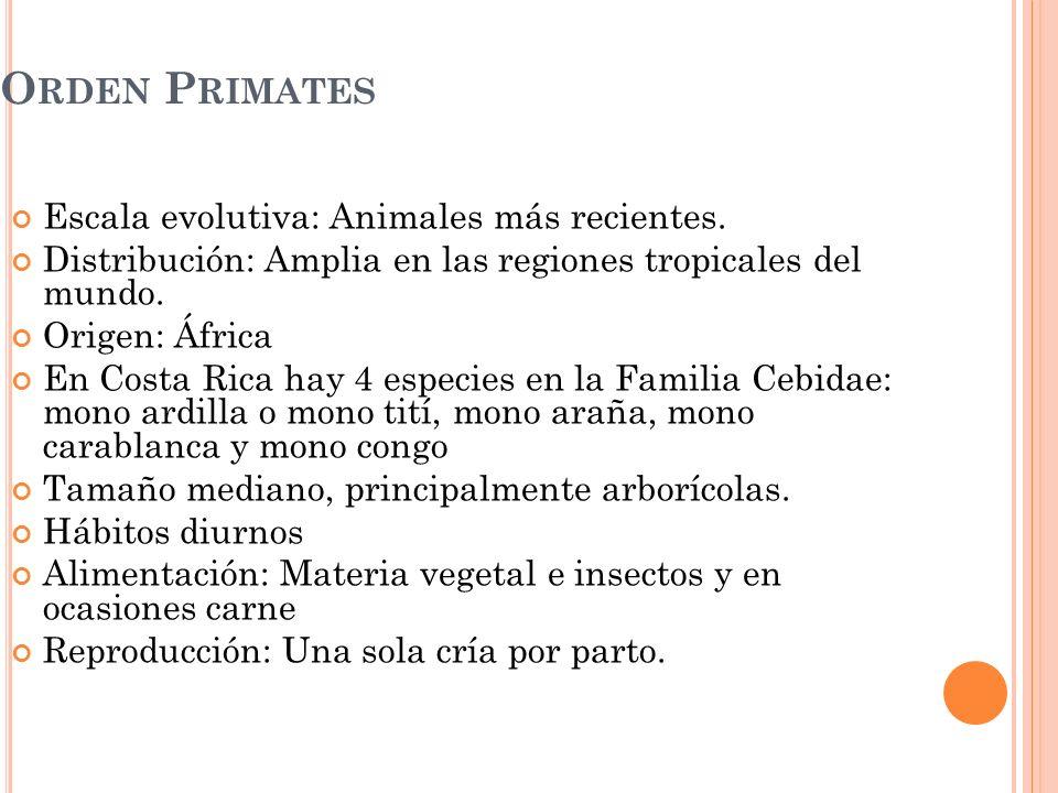 O RDEN P RIMATES Escala evolutiva: Animales más recientes. Distribución: Amplia en las regiones tropicales del mundo. Origen: África En Costa Rica hay