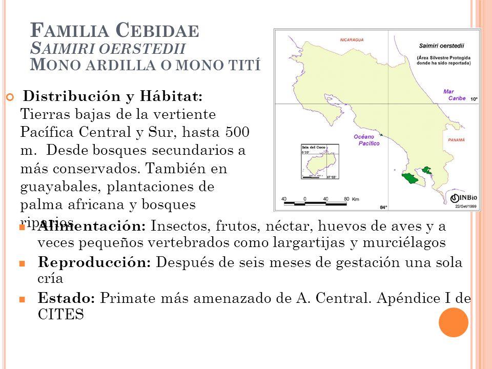F AMILIA C EBIDAE S AIMIRI OERSTEDII M ONO ARDILLA O MONO TITÍ Distribución y Hábitat: Tierras bajas de la vertiente Pacífica Central y Sur, hasta 500