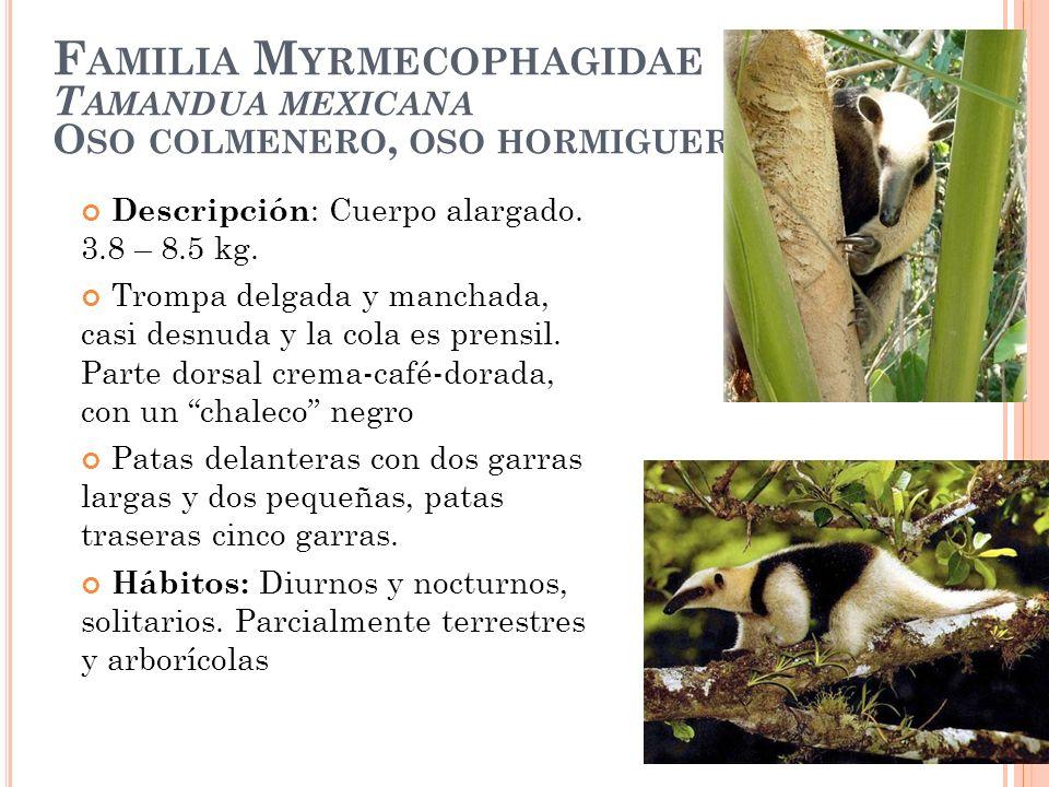 F AMILIA M YRMECOPHAGIDAE T AMANDUA MEXICANA O SO COLMENERO, OSO HORMIGUERO Descripción : Cuerpo alargado. 3.8 – 8.5 kg. Trompa delgada y manchada, ca