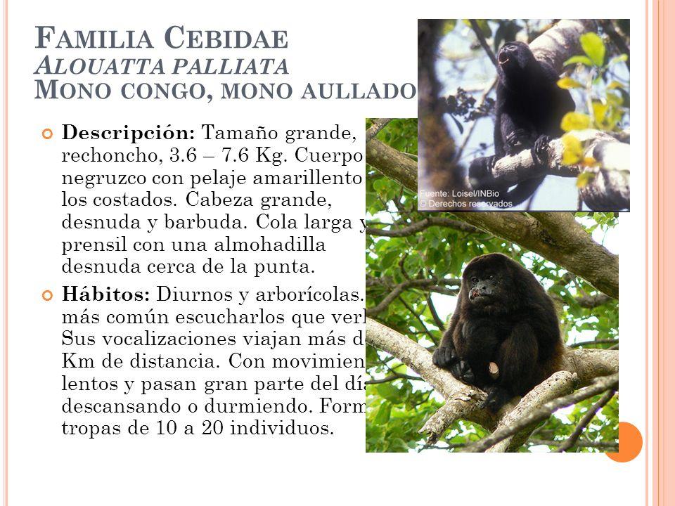 F AMILIA C EBIDAE A LOUATTA PALLIATA M ONO CONGO, MONO AULLADOR Descripción: Tamaño grande, rechoncho, 3.6 – 7.6 Kg. Cuerpo negruzco con pelaje amaril