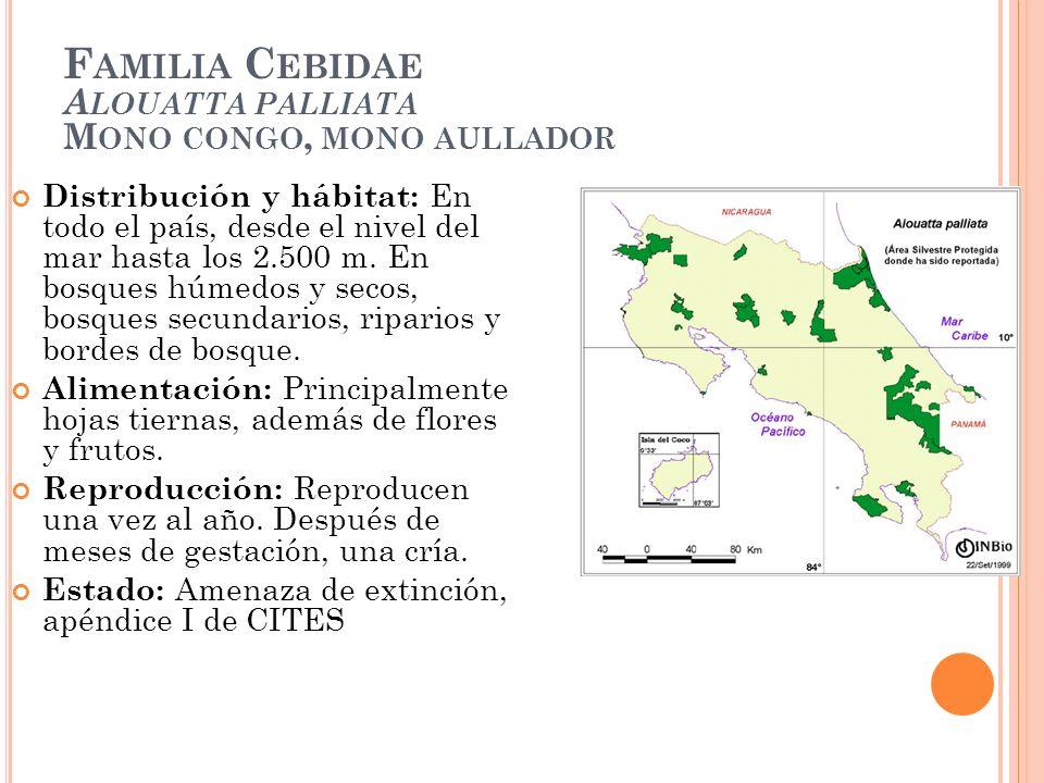 F AMILIA C EBIDAE A LOUATTA PALLIATA M ONO CONGO, MONO AULLADOR Distribución y hábitat: En todo el país, desde el nivel del mar hasta los 2.500 m. En