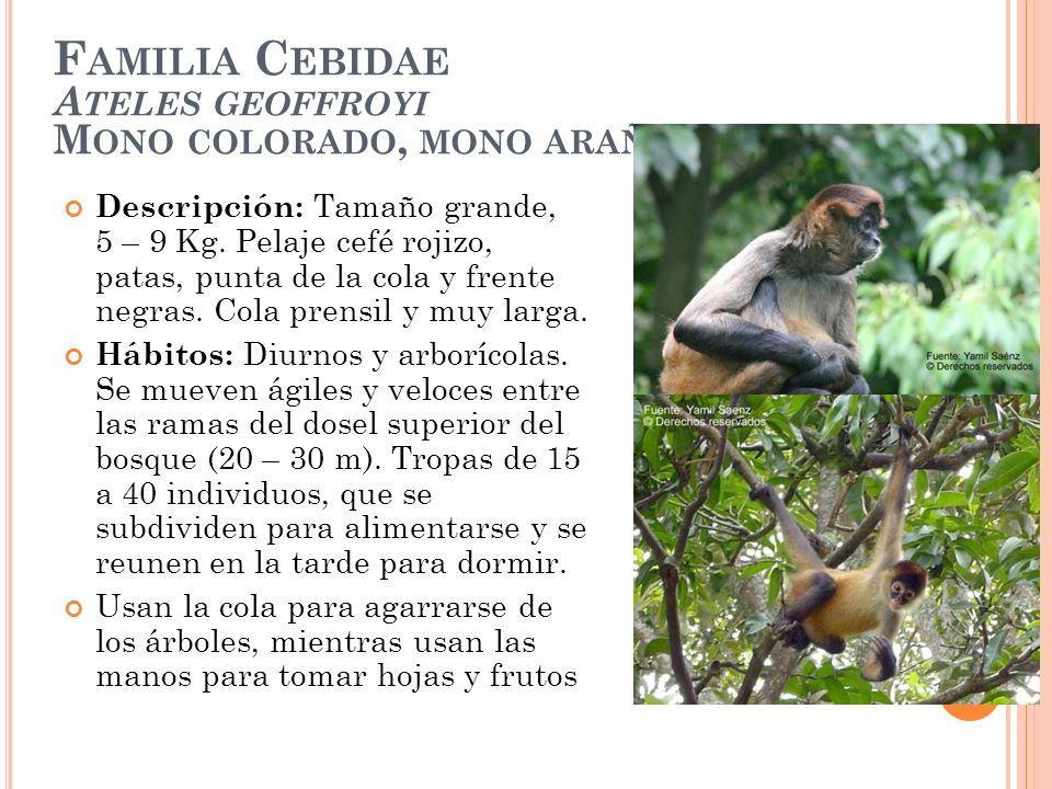 F AMILIA C EBIDAE A TELES GEOFFROYI M ONO COLORADO, MONO ARAÑA Descripción: Tamaño grande, 5 – 9 Kg. Pelaje cefé rojizo, patas, punta de la cola y fre