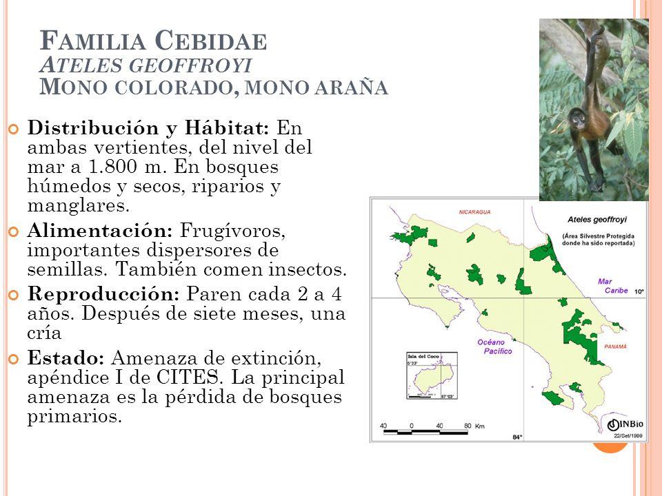 F AMILIA C EBIDAE A TELES GEOFFROYI M ONO COLORADO, MONO ARAÑA Distribución y Hábitat: En ambas vertientes, del nivel del mar a 1.800 m. En bosques hú