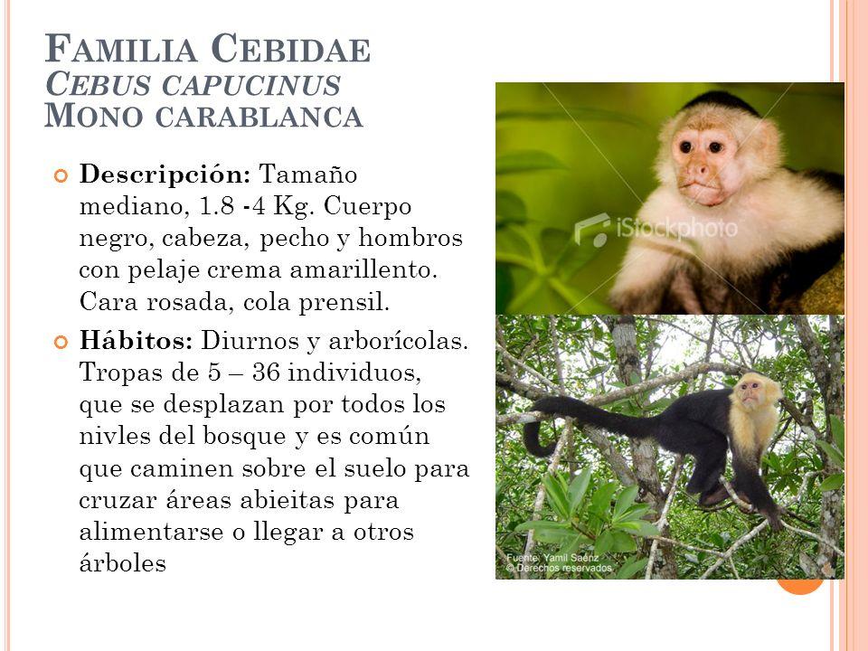 F AMILIA C EBIDAE C EBUS CAPUCINUS M ONO CARABLANCA Descripción: Tamaño mediano, 1.8 -4 Kg. Cuerpo negro, cabeza, pecho y hombros con pelaje crema ama