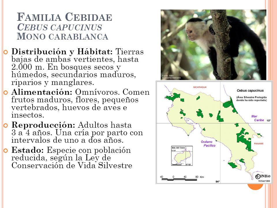 F AMILIA C EBIDAE C EBUS CAPUCINUS M ONO CARABLANCA Distribución y Hábitat: Tierras bajas de ambas vertientes, hasta 2.000 m. En bosques secos y húmed