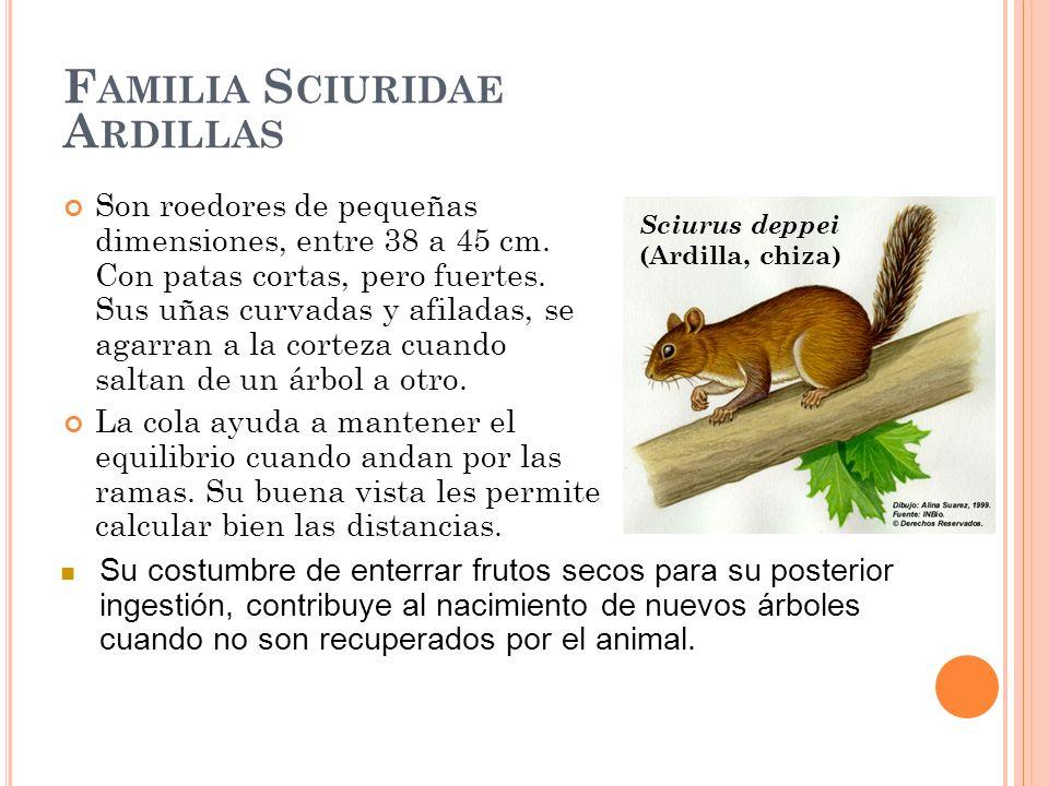 F AMILIA S CIURIDAE A RDILLAS Son roedores de pequeñas dimensiones, entre 38 a 45 cm. Con patas cortas, pero fuertes. Sus uñas curvadas y afiladas, se
