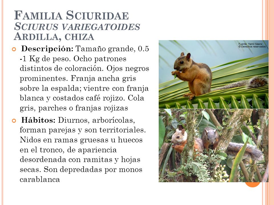 F AMILIA S CIURIDAE S CIURUS VARIEGATOIDES A RDILLA, CHIZA Descripción: Tamaño grande, 0.5 -1 Kg de peso. Ocho patrones distintos de coloración. Ojos