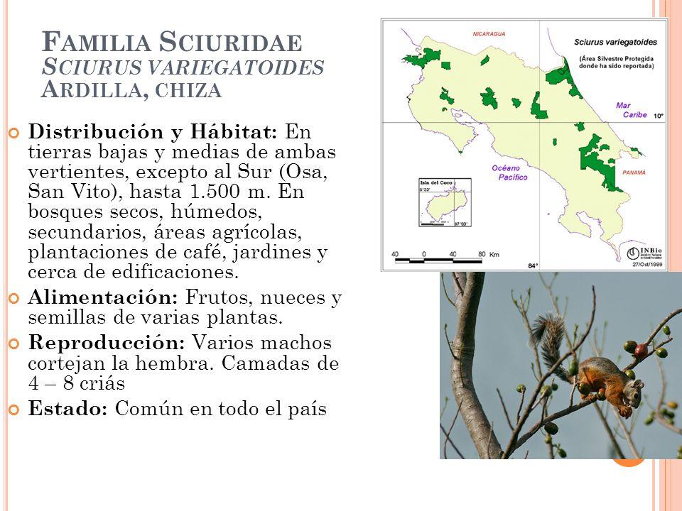 F AMILIA S CIURIDAE S CIURUS VARIEGATOIDES A RDILLA, CHIZA Distribución y Hábitat: En tierras bajas y medias de ambas vertientes, excepto al Sur (Osa,