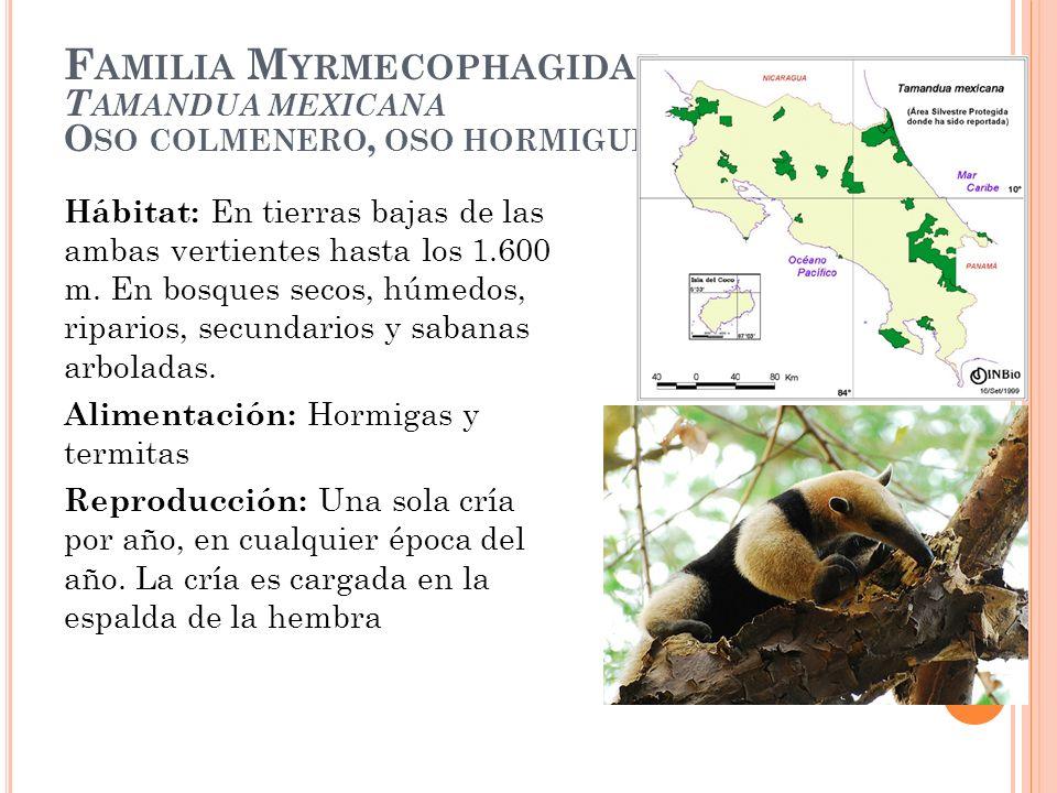 F AMILIA M YRMECOPHAGIDAE T AMANDUA MEXICANA O SO COLMENERO, OSO HORMIGUERO Hábitat: En tierras bajas de las ambas vertientes hasta los 1.600 m. En bo