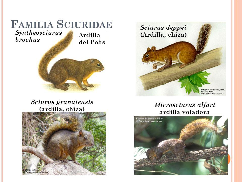 Syntheosciurus brochus Ardilla del Poás F AMILIA S CIURIDAE Sciurus granatensis (ardilla, chiza) Sciurus deppei (Ardilla, chiza) Microsciurus alfari a