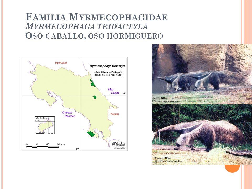 F AMILIA M YRMECOPHAGIDAE M YRMECOPHAGA TRIDACTYLA O SO CABALLO, OSO HORMIGUERO
