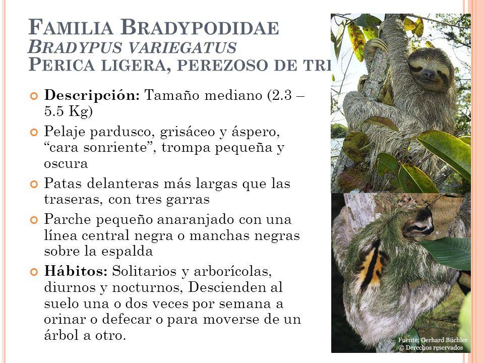 F AMILIA B RADYPODIDAE B RADYPUS VARIEGATUS P ERICA LIGERA, PEREZOSO DE TRES DEDOS Descripción: Tamaño mediano (2.3 – 5.5 Kg) Pelaje pardusco, grisáce