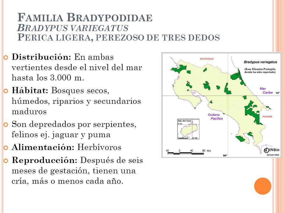 F AMILIA B RADYPODIDAE B RADYPUS VARIEGATUS P ERICA LIGERA, PEREZOSO DE TRES DEDOS Distribución: En ambas vertientes desde el nivel del mar hasta los