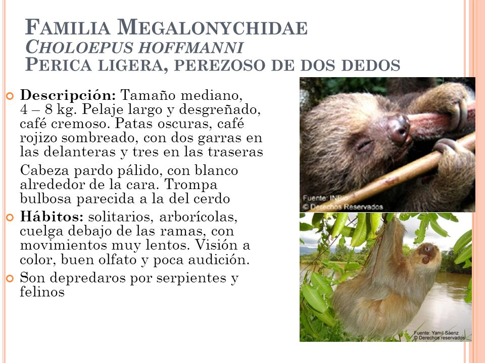 F AMILIA M EGALONYCHIDAE C HOLOEPUS HOFFMANNI P ERICA LIGERA, PEREZOSO DE DOS DEDOS Descripción: Tamaño mediano, 4 – 8 kg. Pelaje largo y desgreñado,
