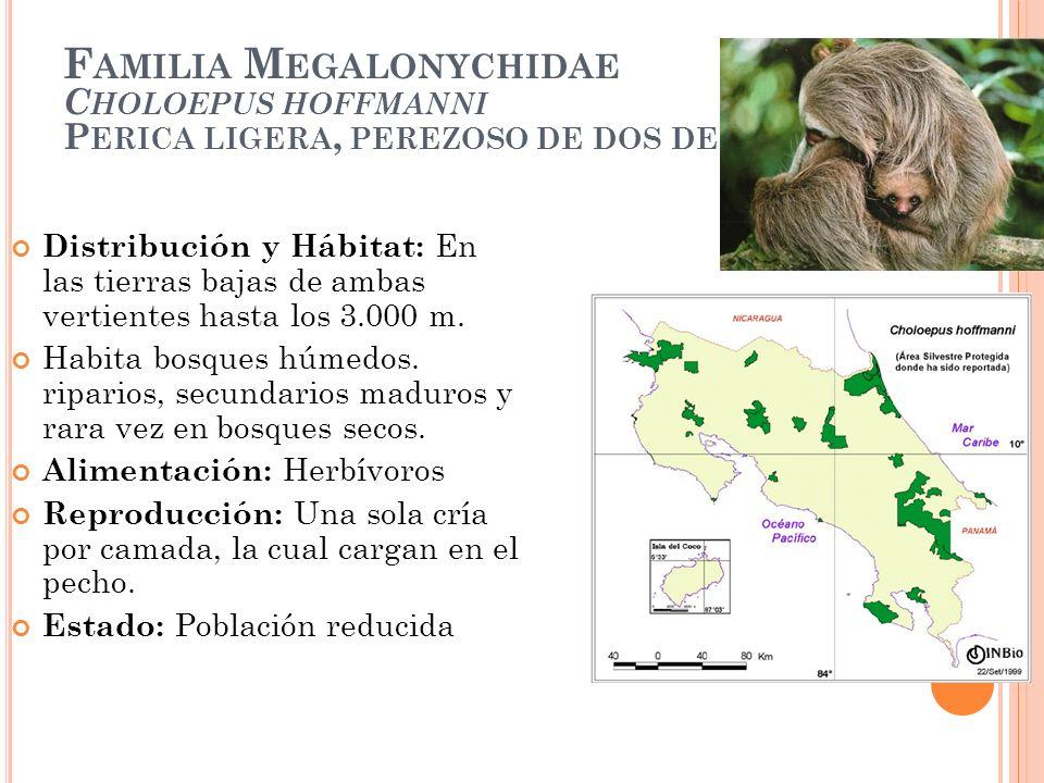 F AMILIA M EGALONYCHIDAE C HOLOEPUS HOFFMANNI P ERICA LIGERA, PEREZOSO DE DOS DEDOS Distribución y Hábitat: En las tierras bajas de ambas vertientes h