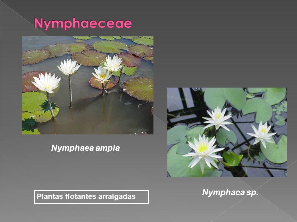 Nymphaea ampla Nymphaea sp. Plantas flotantes arraigadas