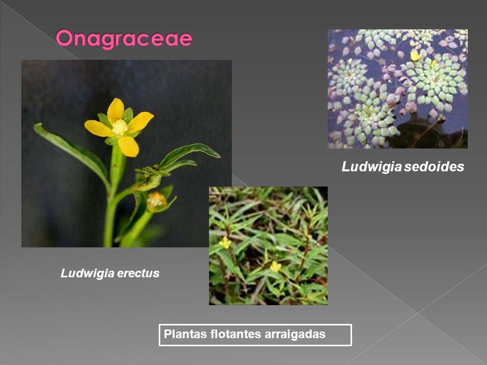 Ludwigia erectus Ludwigia sedoides Plantas flotantes arraigadas