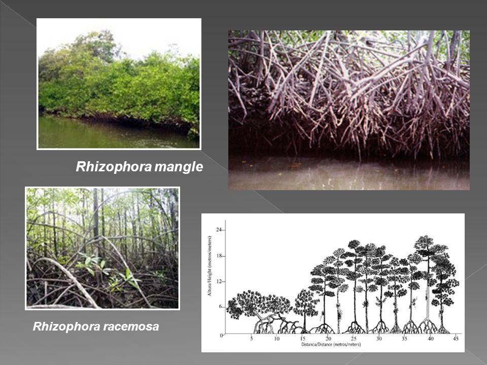 Rhizophora racemosa Rhizophora mangle