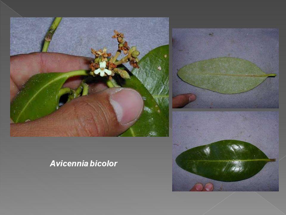 Avicennia bicolor