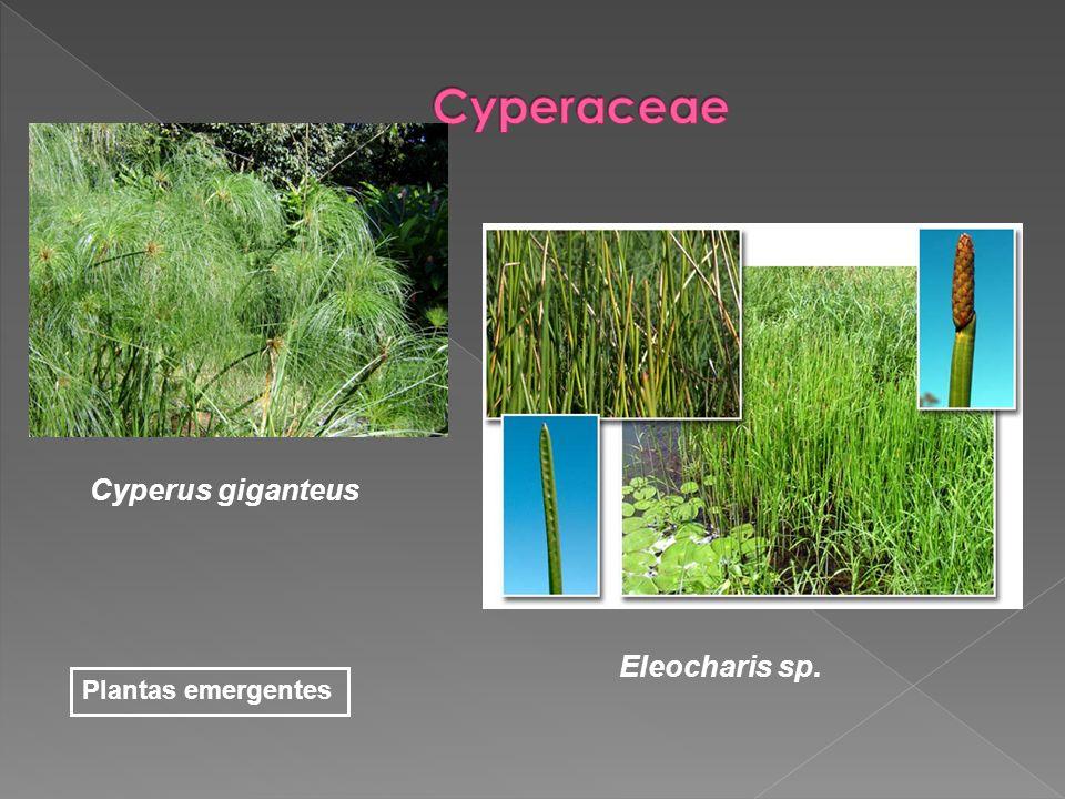 Cyperus giganteus Plantas emergentes Eleocharis sp.
