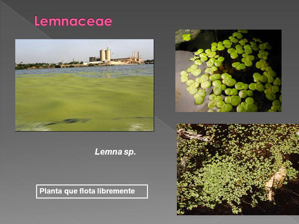 Lemna sp. Planta que flota libremente