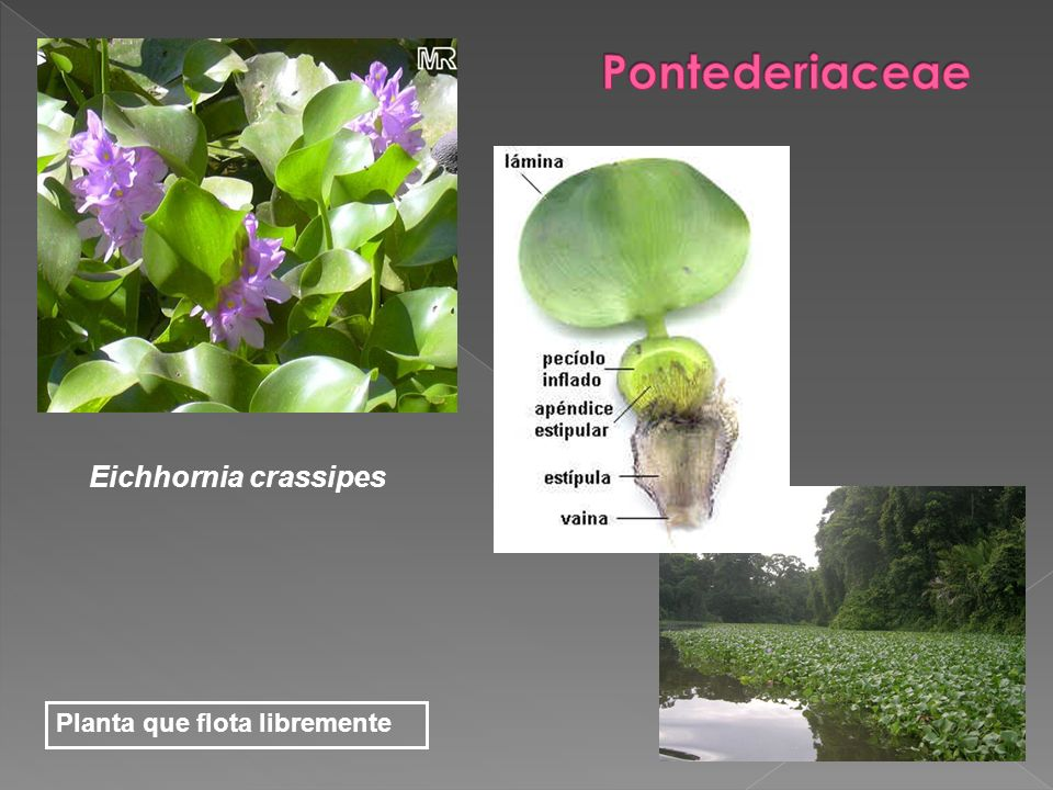 Eichhornia crassipes Planta que flota libremente