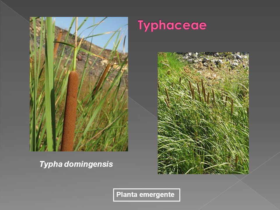 Typha domingensis Planta emergente