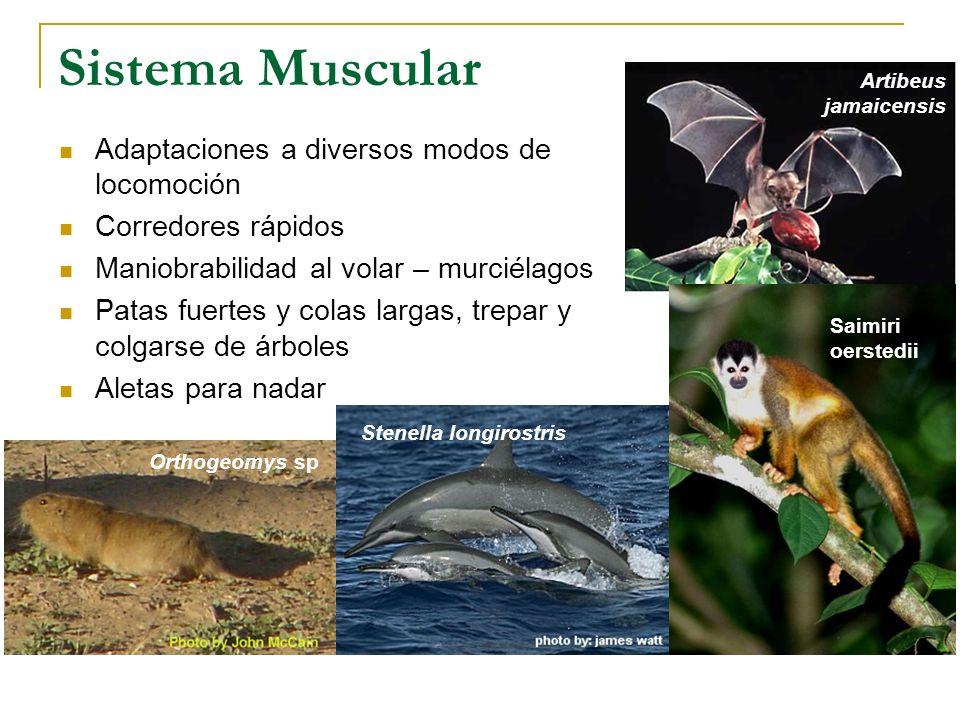 Sistema Muscular Adaptaciones a diversos modos de locomoción Corredores rápidos Maniobrabilidad al volar – murciélagos Patas fuertes y colas largas, t