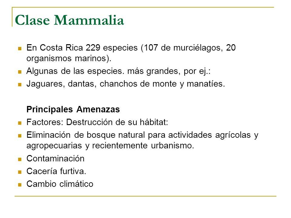 Clase Mammalia En Costa Rica 229 especies (107 de murciélagos, 20 organismos marinos). Algunas de las especies. más grandes, por ej.: Jaguares, dantas