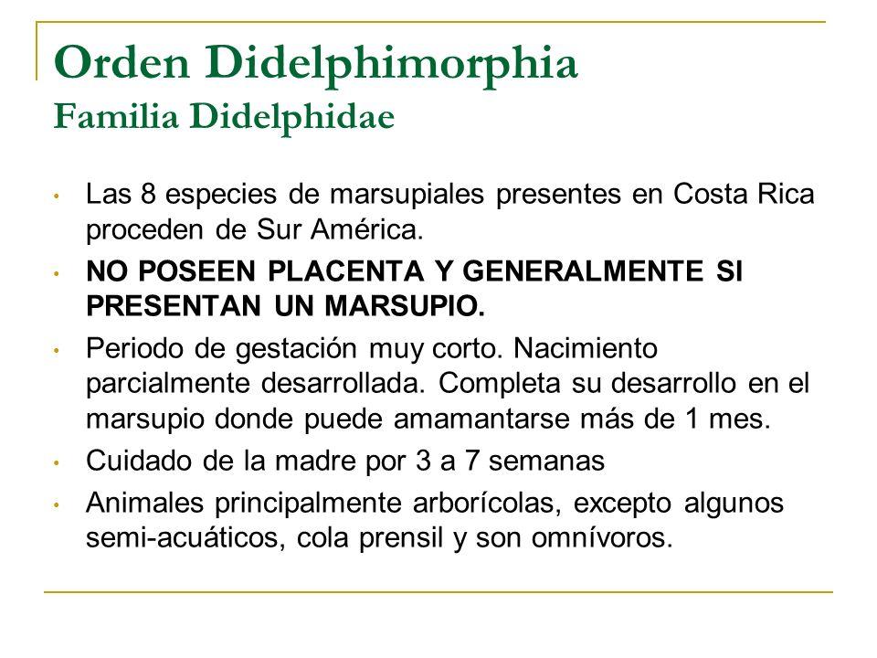 Orden Didelphimorphia Familia Didelphidae Las 8 especies de marsupiales presentes en Costa Rica proceden de Sur América. NO POSEEN PLACENTA Y GENERALM