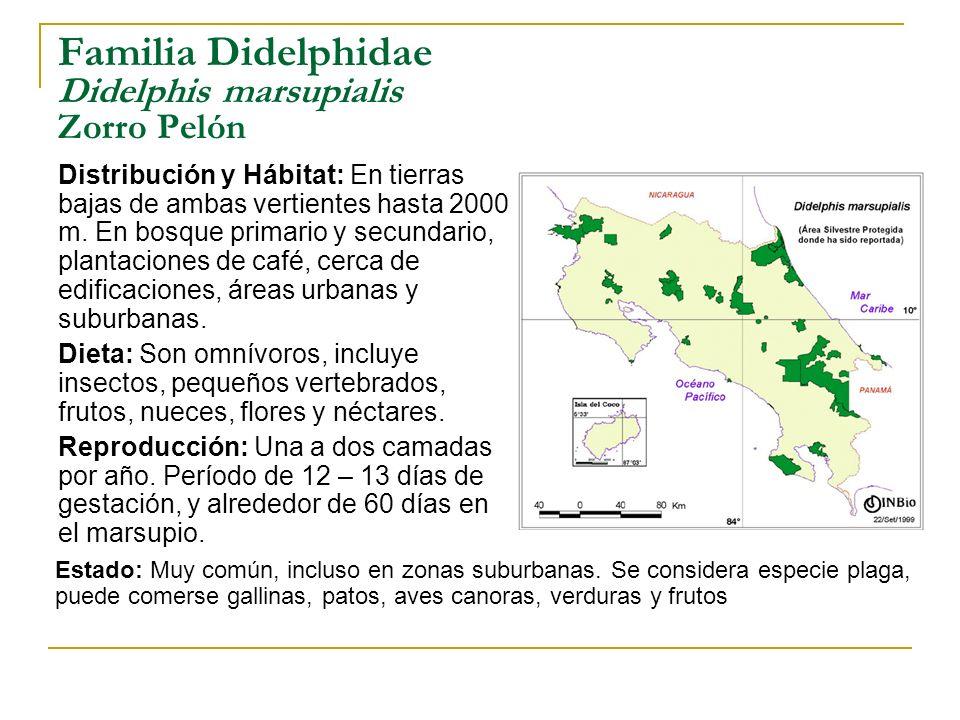 Familia Didelphidae Didelphis marsupialis Zorro Pelón Distribución y Hábitat: En tierras bajas de ambas vertientes hasta 2000 m. En bosque primario y
