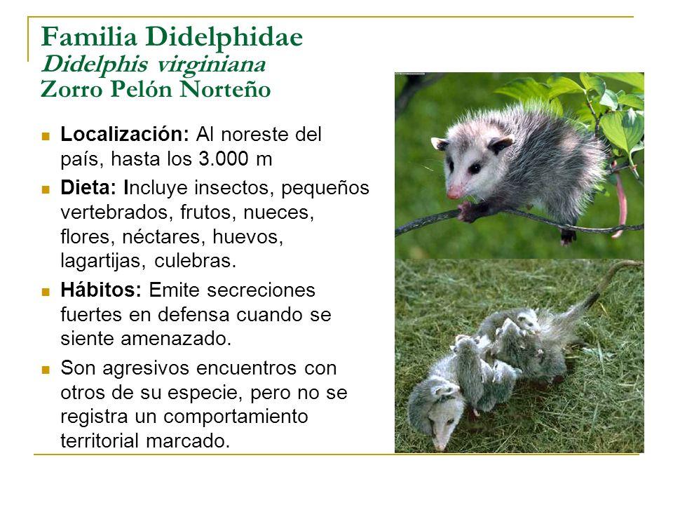 Familia Didelphidae Didelphis virginiana Zorro Pelón Norteño Localización: Al noreste del país, hasta los 3.000 m Dieta: Incluye insectos, pequeños ve