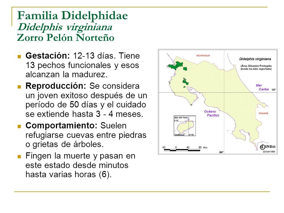 Familia Didelphidae Didelphis virginiana Zorro Pelón Norteño Gestación: 12-13 días. Tiene 13 pechos funcionales y esos alcanzan la madurez. Reproducci