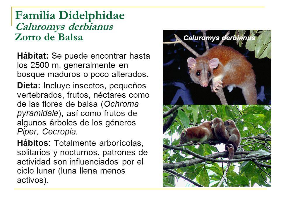 Familia Didelphidae Caluromys derbianus Zorro de Balsa Hábitat: Se puede encontrar hasta los 2500 m. generalmente en bosque maduros o poco alterados.