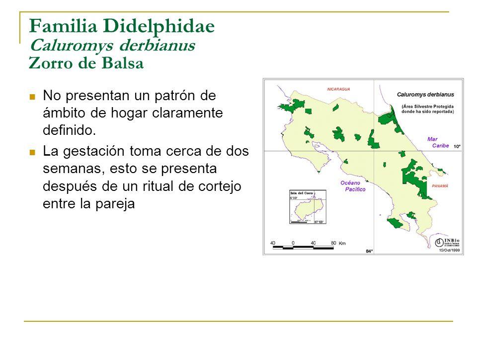 Familia Didelphidae Caluromys derbianus Zorro de Balsa No presentan un patrón de ámbito de hogar claramente definido. La gestación toma cerca de dos s