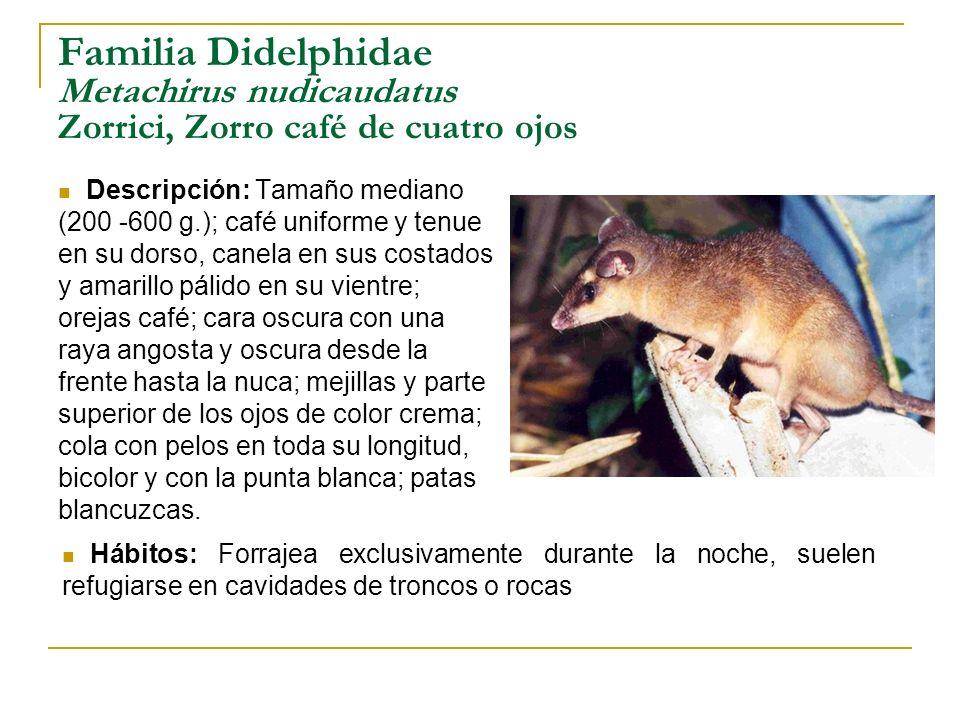 Familia Didelphidae Metachirus nudicaudatus Zorrici, Zorro café de cuatro ojos Descripción: Tamaño mediano (200 -600 g.); café uniforme y tenue en su