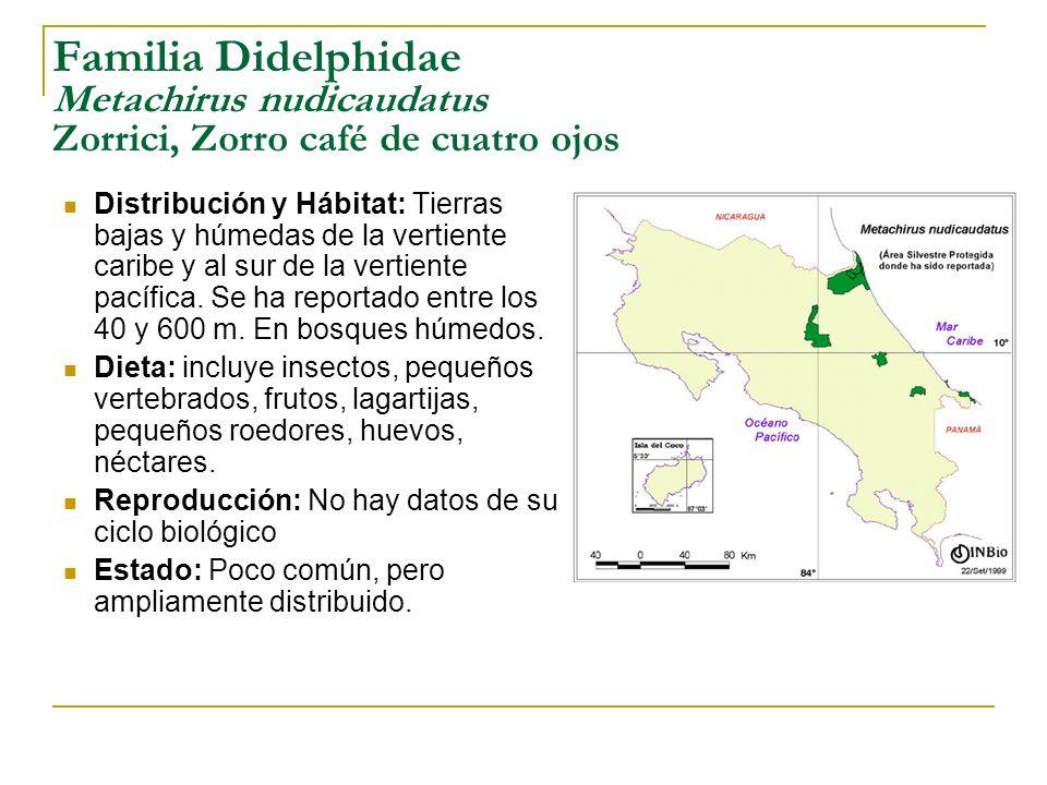 Familia Didelphidae Metachirus nudicaudatus Zorrici, Zorro café de cuatro ojos Distribución y Hábitat: Tierras bajas y húmedas de la vertiente caribe